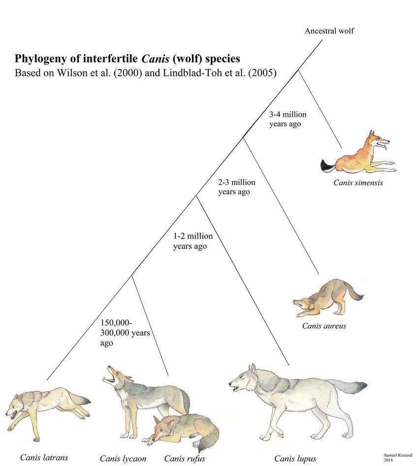 Eastern Wolf Diagram Diy Wiring Diagrams