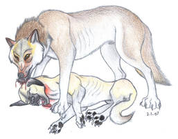 Wolf eating a dog
