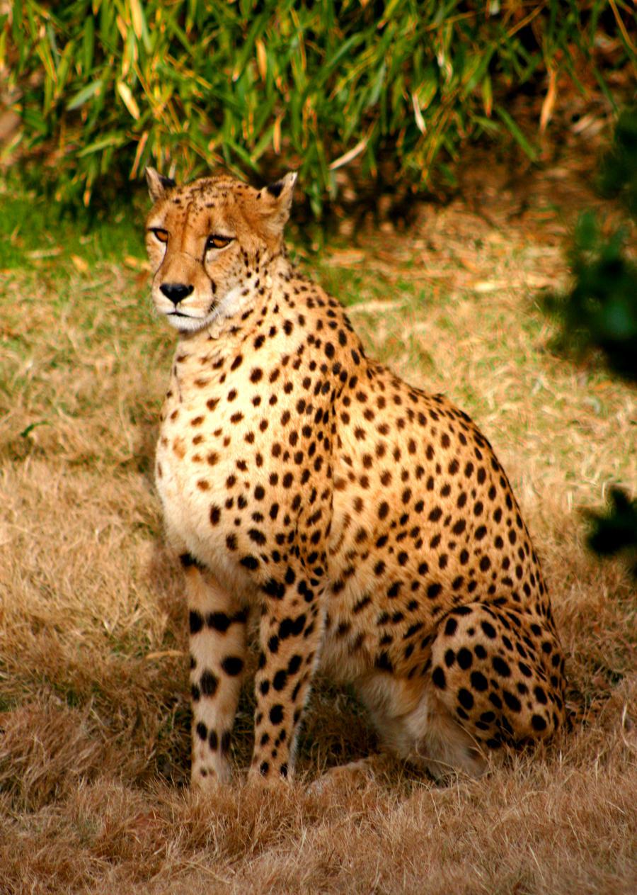 Cheetah Sitting Drawing