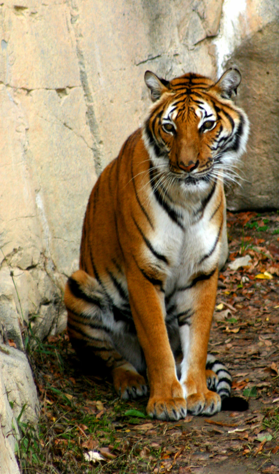 Sitting Tiger 2 By Tlcphotography730 On Deviantart