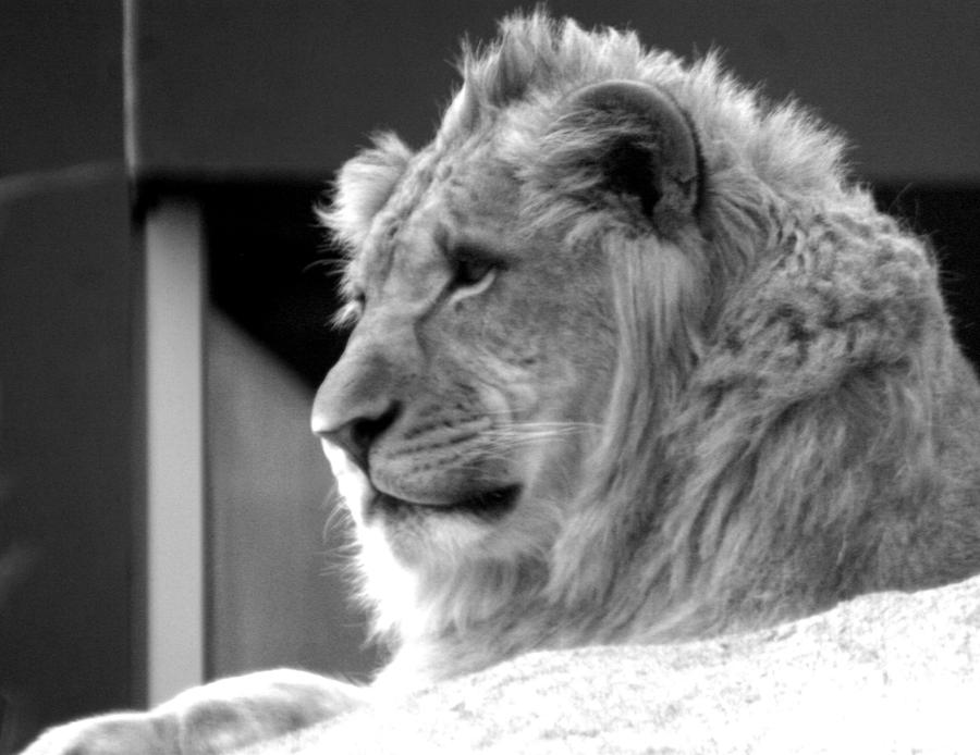 black and white lion face by TlCphotography730 on DeviantArt