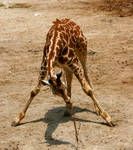 Giraffe playing