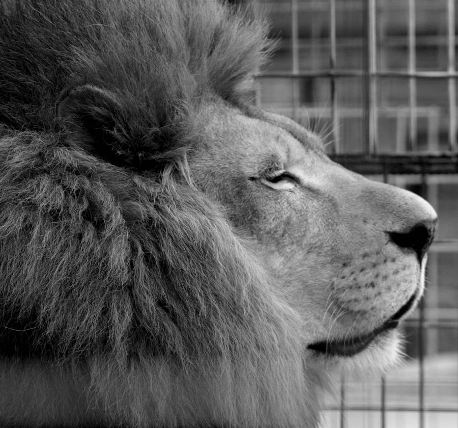 Black And White Lion By Tlcphotography730 On Deviantart