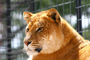 LOVELY LIGER 2 by TlCphotography730