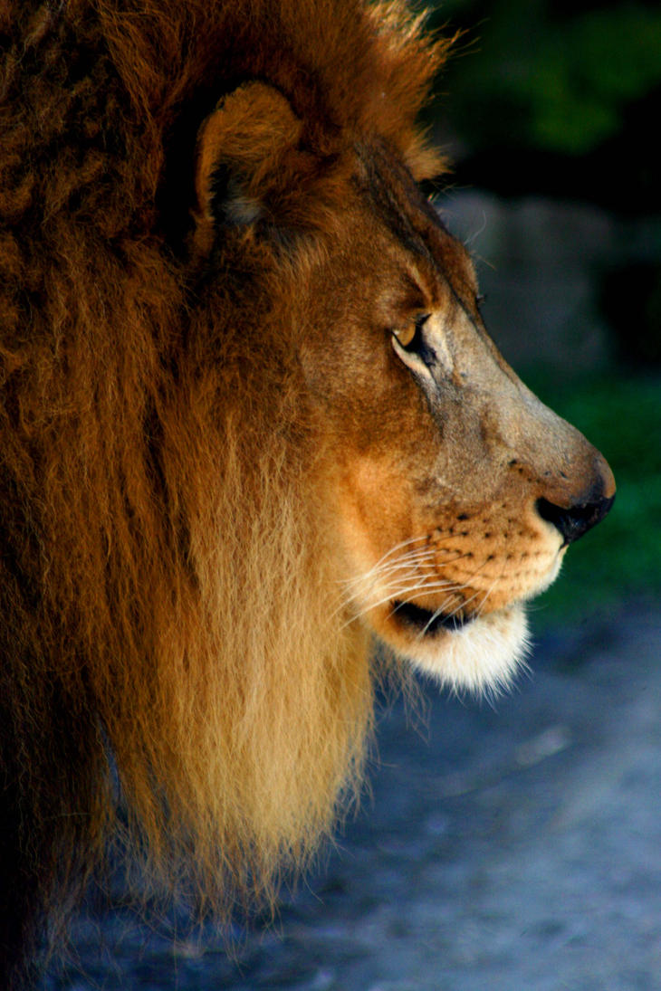 Lion sitting profile - photo#52