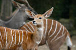 lesser Kudu by TlCphotography730