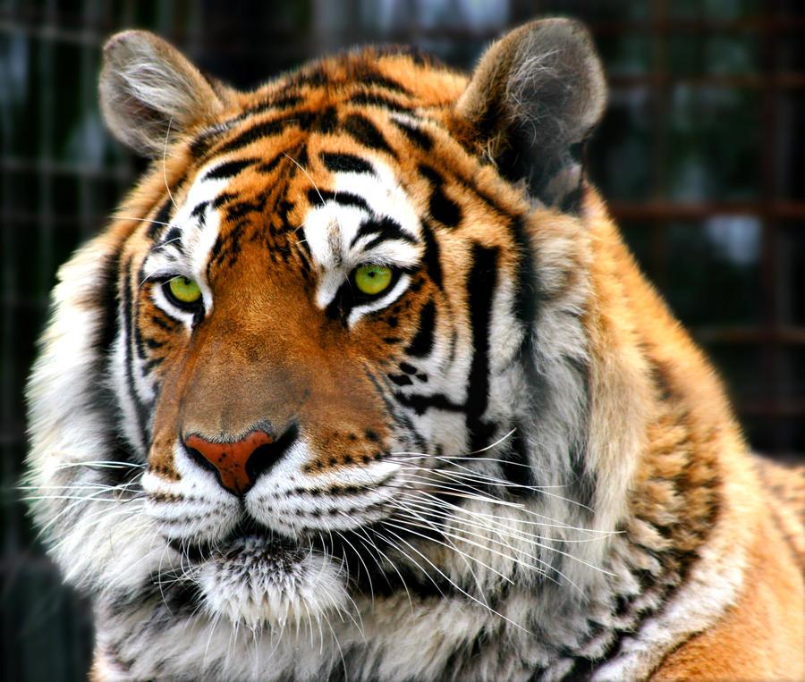 Green tiger eyes - photo#1