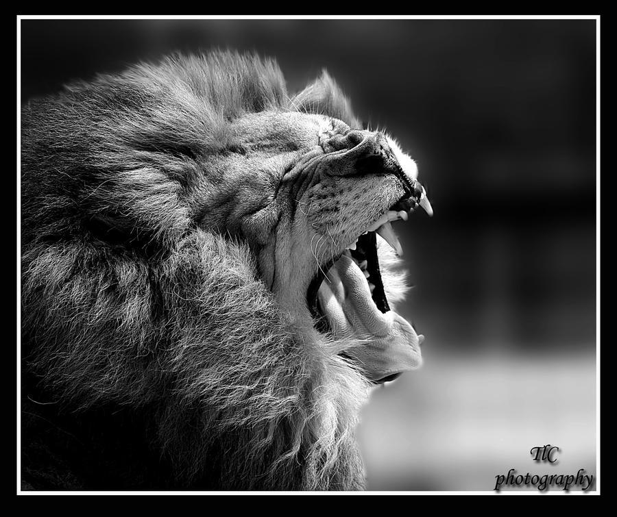 I am king hear me roar by  I Am King Wallpaper