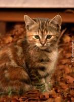 Fall kitten 3 by TlCphotography730