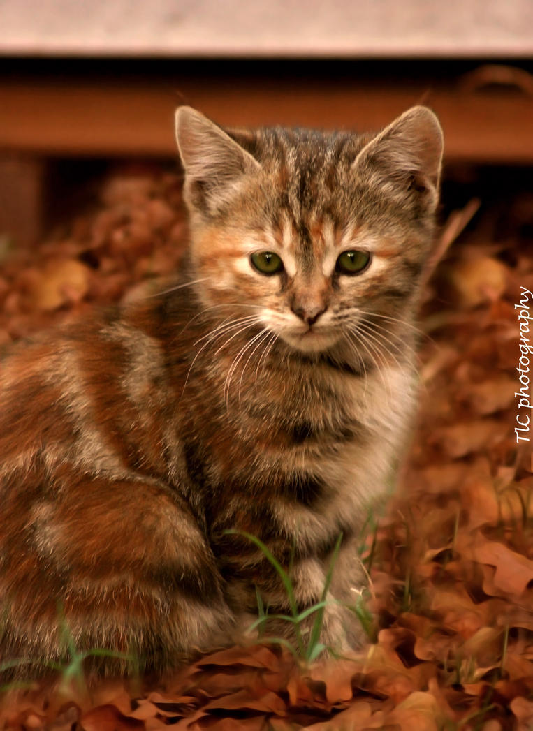 Fall kitten 3 by TlCphotography730
