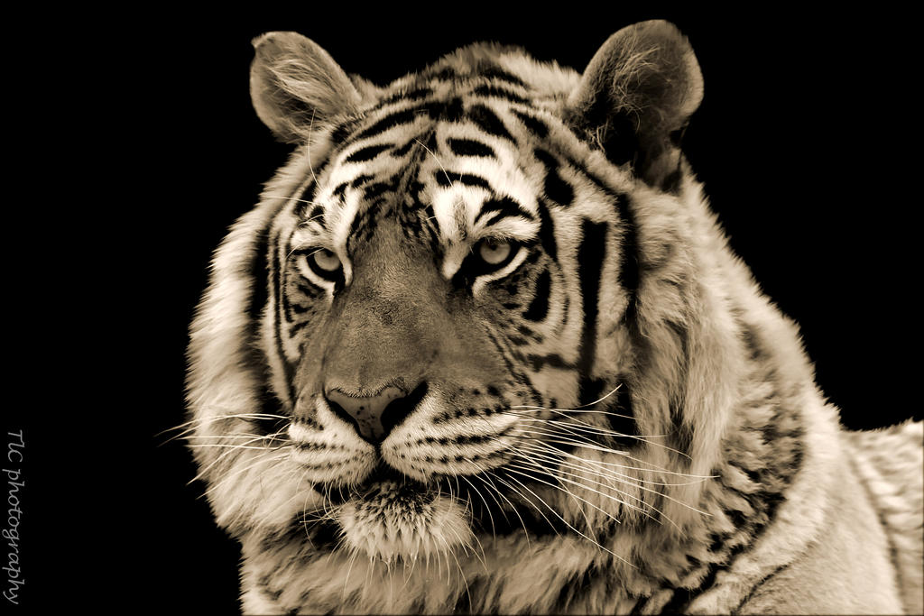 Sepia tiger portrait by TlCphotography730