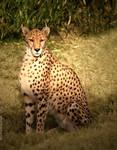 Cheetah's glare
