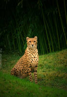 Pretty Cheetah by TlCphotography730