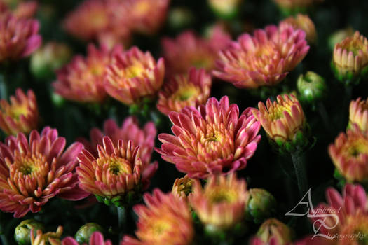 Chrysanthemum Morning