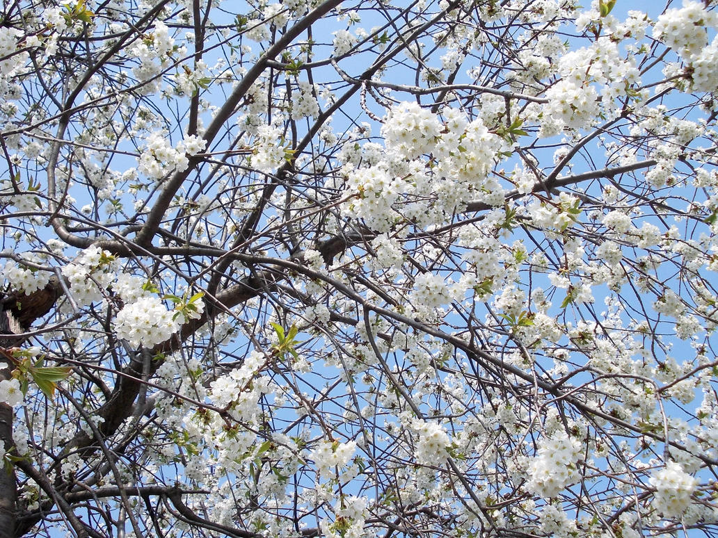 White Tree Bloom 4 By Avelion Chan On Deviantart