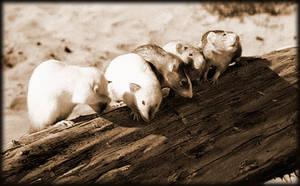 beach rats by RatWrangler