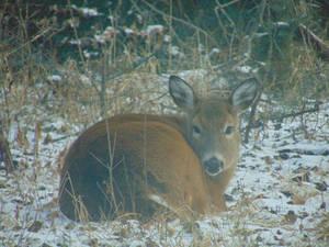 Deer Winter 2018