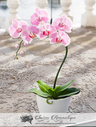 Phalaenopsis Orchid - Polymer Clay Flowers