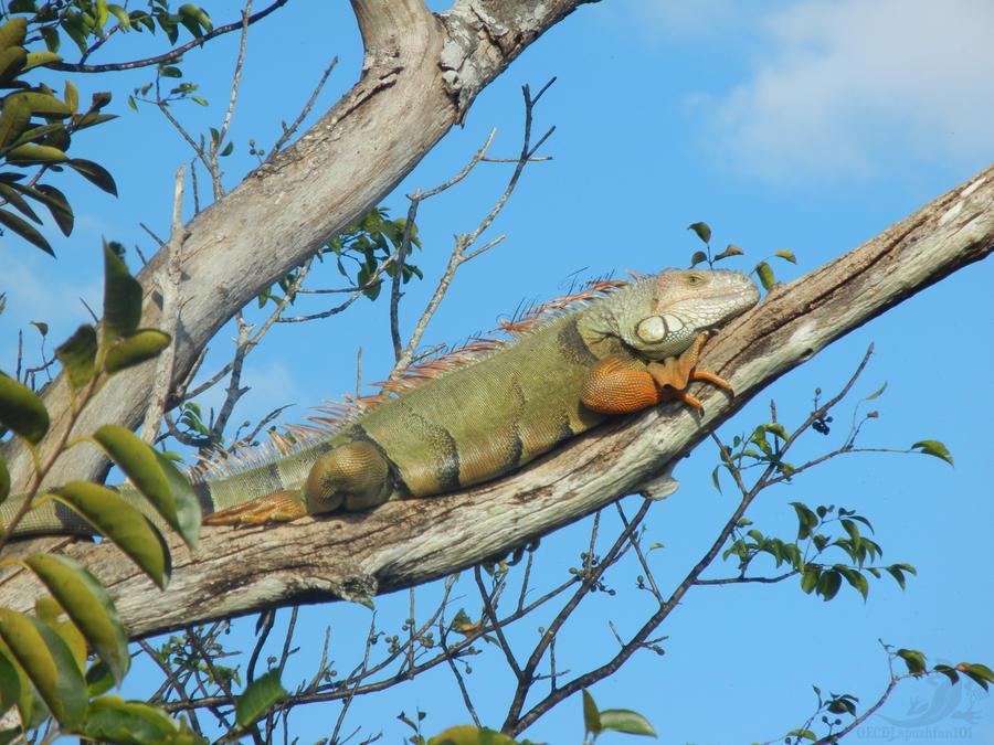 Everglades Iguana by OECDLapushfan101