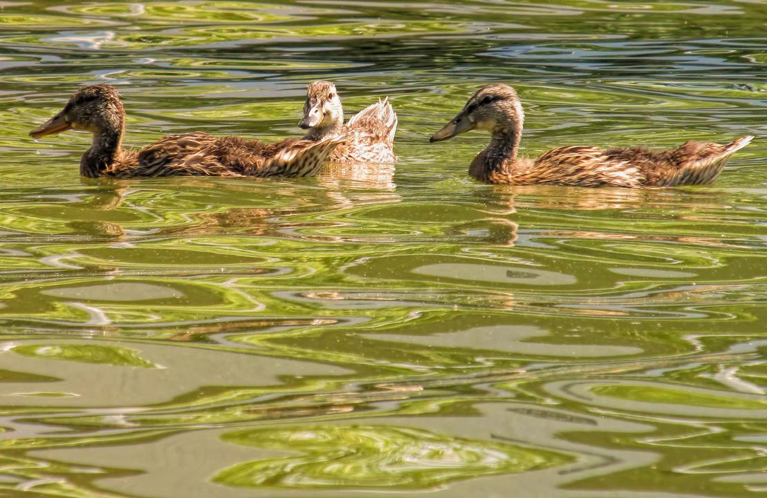 Duck, Duck, Duck, No Goose by musksnipe