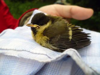 Baby bird of a titmouse by LLlu3a