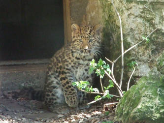Baby Amur by Oraa