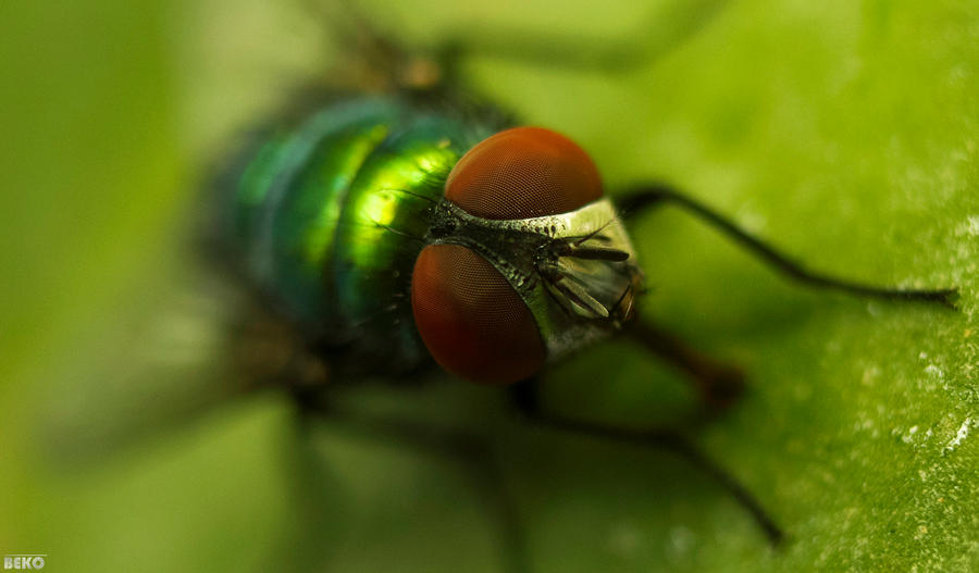 horsefly by bakerGFXislamicDSner