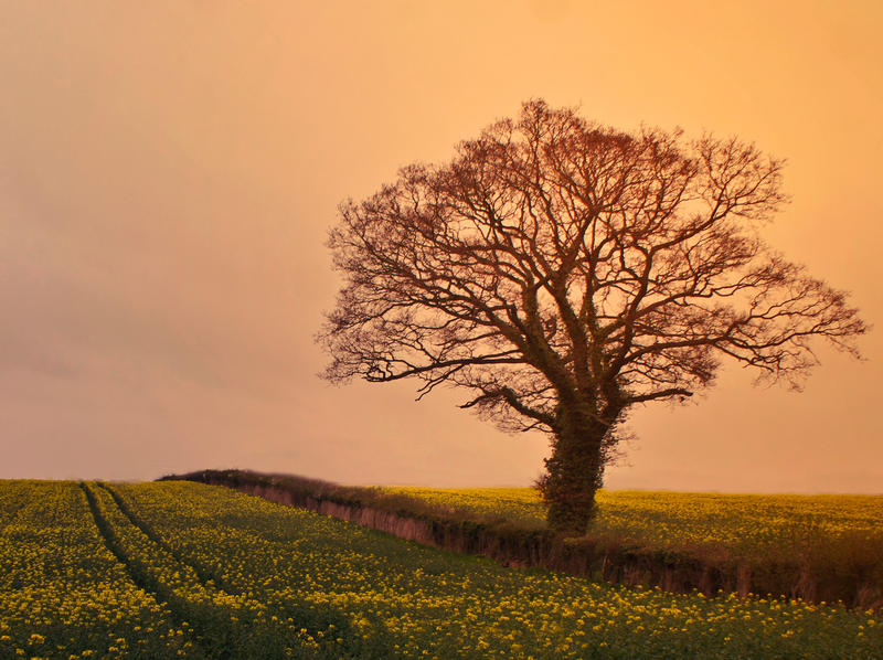 Day Ninety Seven: Yellow Fields by Kaz-D