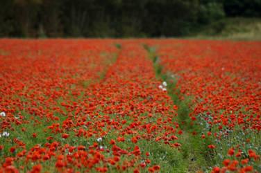 Day 199: Poppy Fields by Kaz-D