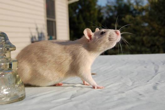 Rat Stock 06