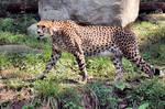 Cheetah Stock 8