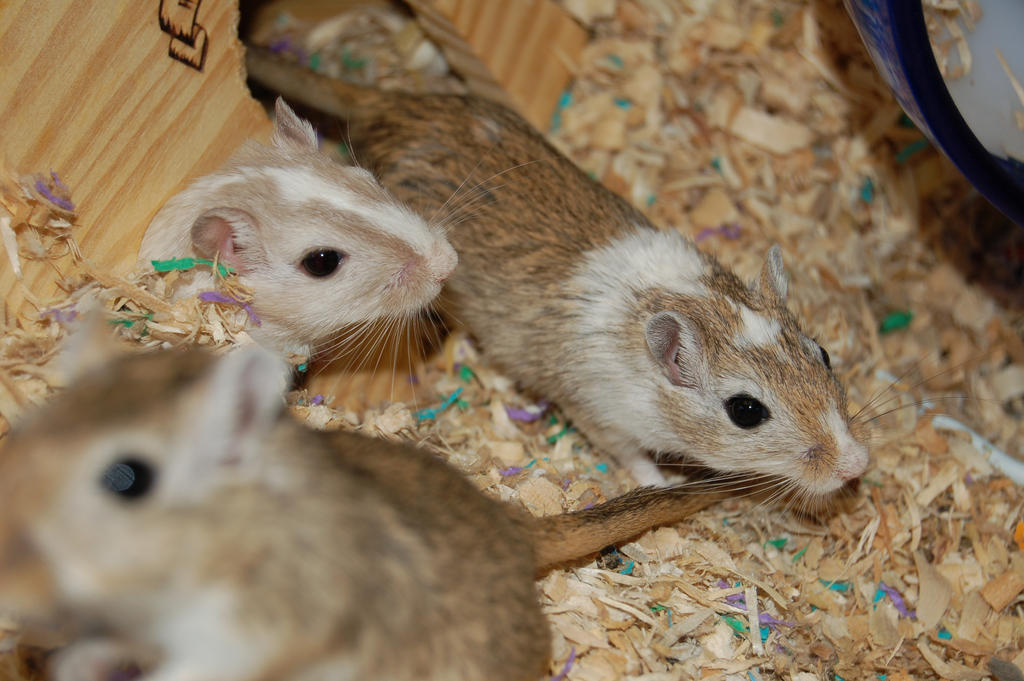 Gerbil Stock 02 by Jaded-Night-Stock