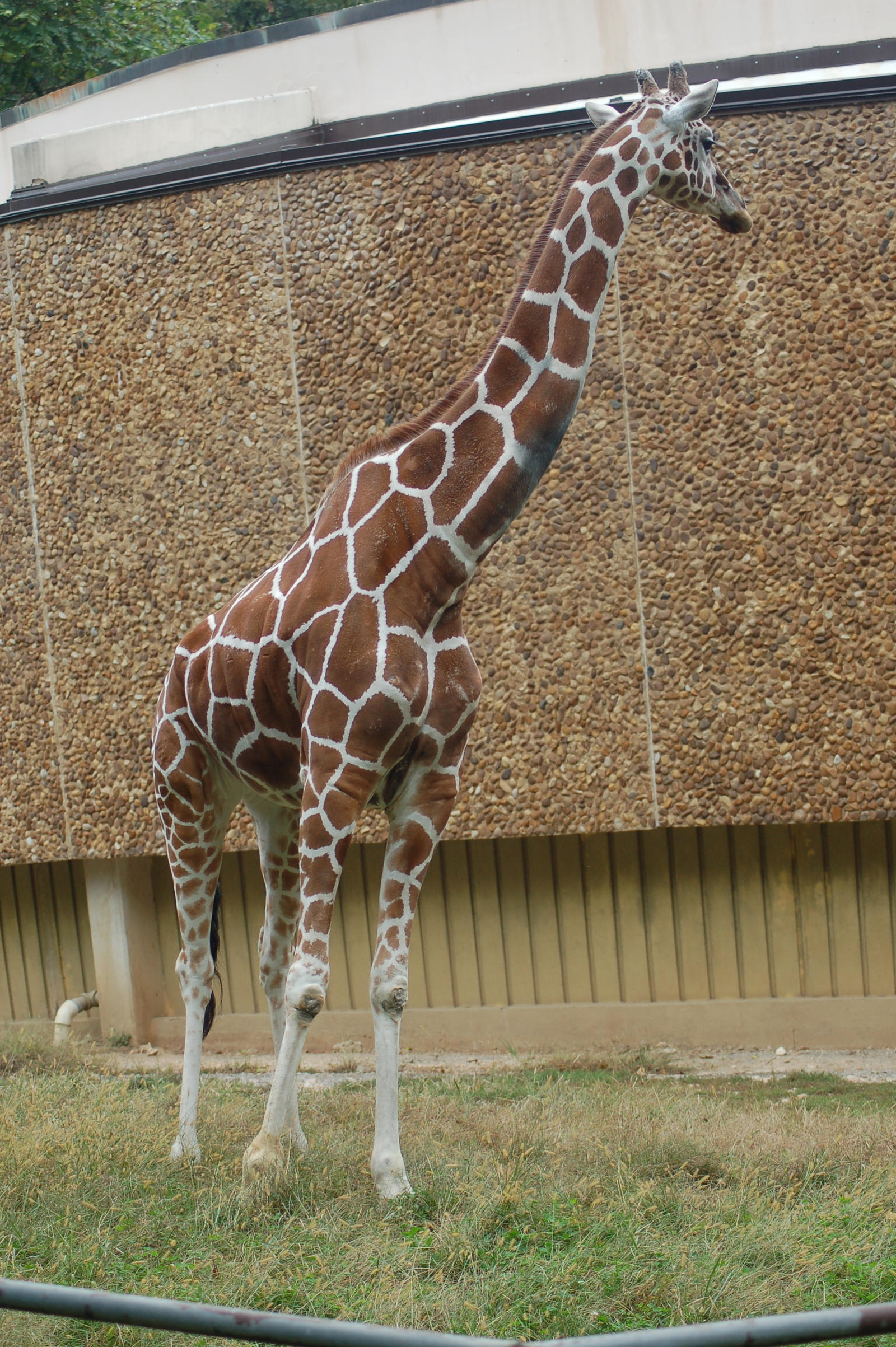 Giraffe Stock 02 by Jaded-Night-Stock