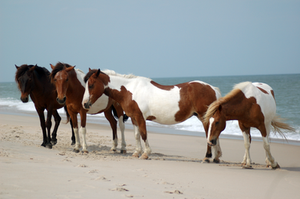 Assateague Horse Stock 17 by Jaded-Night-Stock