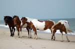 Assateague Horse Stock 17