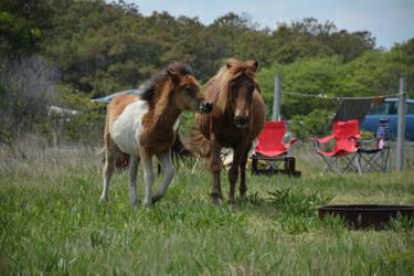 Assateague Pony Stock 01 by Jaded-Night-Stock