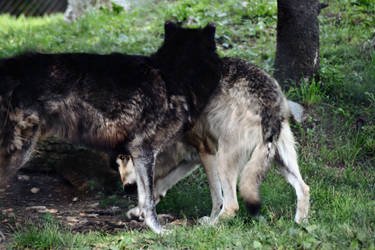 Wolf Stock 5 by Jaded-Night-Stock