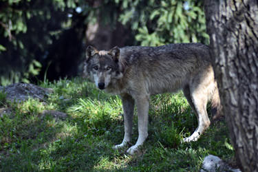 Wolf Stock 6 by Jaded-Night-Stock