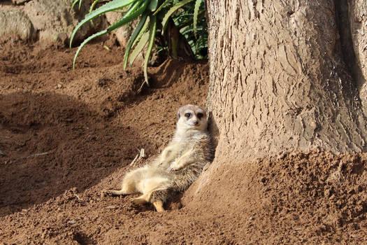 Reclining meerkat