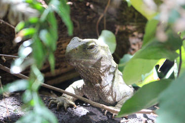 Tuatara through leaves