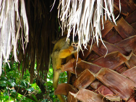 Snacking Squirrel Monkey