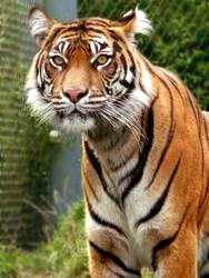 Tiger Eyes by rocketgirl85
