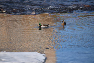 ducks in winter by LoliApolys