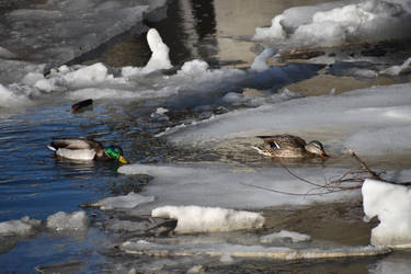 winter ducks by LoliApolys