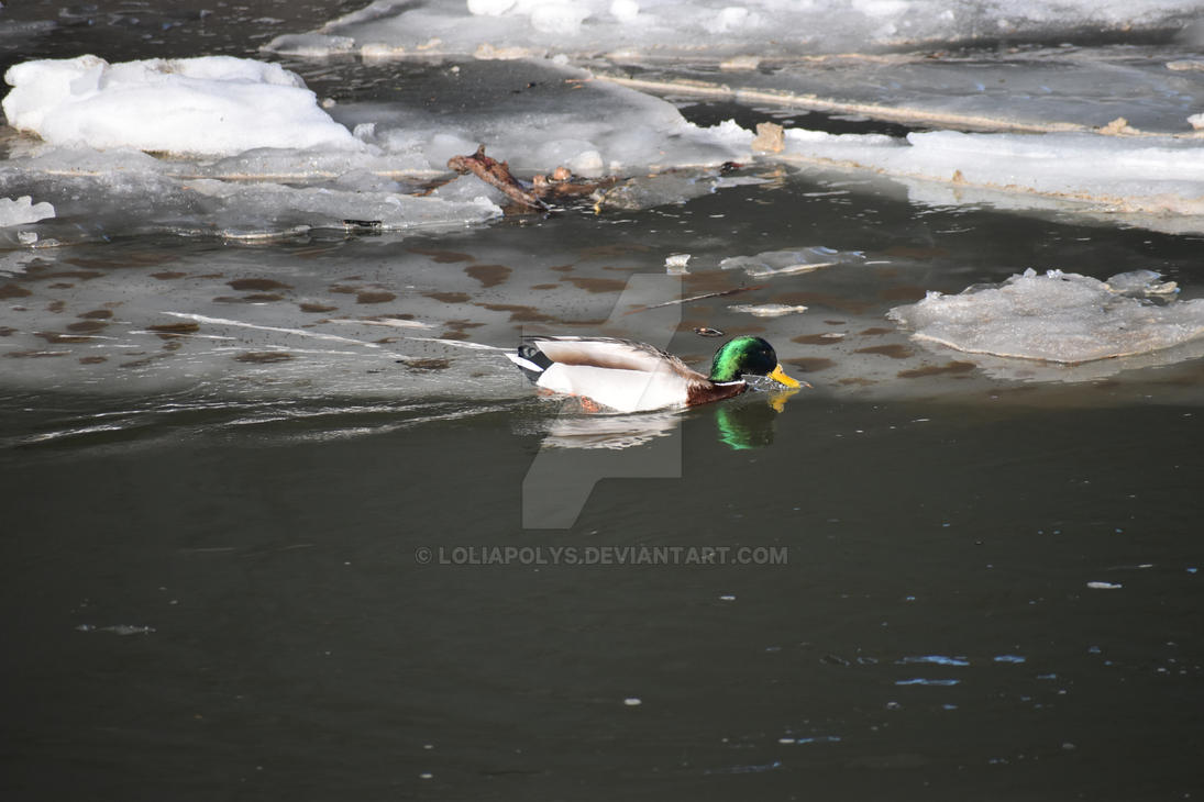 male duck in winter by LoliApolys