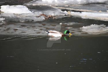 male duck in winter