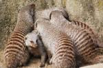 Mongoose 02