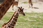 Baby giraffe 01