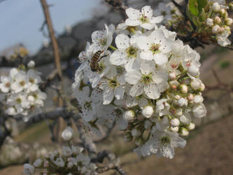 Pear Blossoms 1 by InumaruProductions