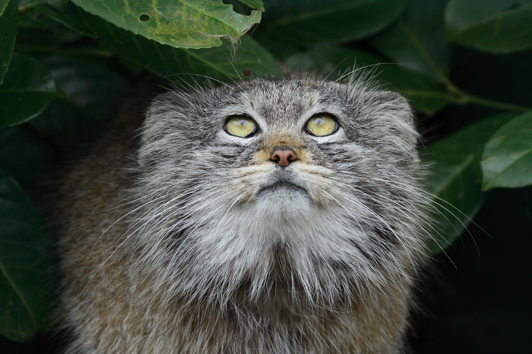 Wild Pallas Cat Breed